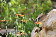 Colibri gentil alimentant sur la fleur orange Photographie stock
