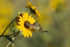 colibri Grand-suivi, platycercus de Selasphorus Photographie stock libre de droits