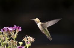 Colibri isolado Foto de Stock Royalty Free