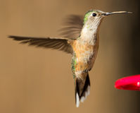 Colibri largo-atado fêmea fotografia de stock