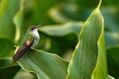 colibri Listra-atado que senta-se na flor verde, Savegre, Costa Rica fotos de stock royalty free