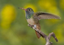 colibri Lustrar-inchado Fotografia de Stock Royalty Free