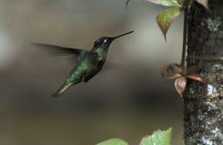 Colibri magnifique, Rivoli-kolibrie, fulgens d'Eugenes images libres de droits