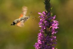 Colibri moth Stock Images