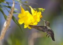 Colibri na flor de trombeta amarela Imagens de Stock Royalty Free