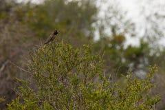 Colibri na natureza Fotografia de Stock Royalty Free
