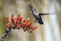 Colibri no vôo Fotos de Stock Royalty Free