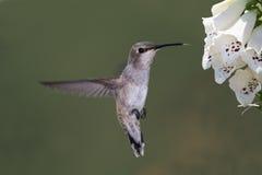 Colibri Noir-chinned Photo stock