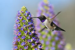 Colibri Noir-chinned image stock