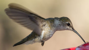 Colibri noir-Chinned femelle images libres de droits
