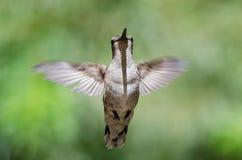 Colibri noir-Chinned planant en vol profondément dans la forêt photos libres de droits