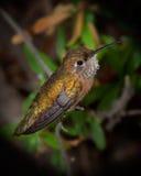 Colibri novo Foto de Stock