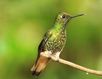 Colibri på en fatta Arkivbilder