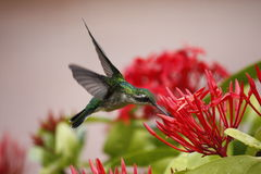 Colibri planant Photos stock