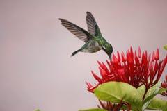 Colibri planant photo stock