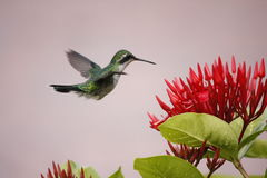 Colibri planant photos libres de droits