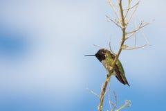 Colibri Preto-Chinned imagem de stock royalty free