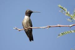 Colibri Preto-chinned (alexandri do Archilochus) Fotografia de Stock