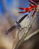 Colibri pronto para voar Foto de Stock