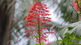 Colibri que alimenta desde la flor en una selva tropical almacen de video