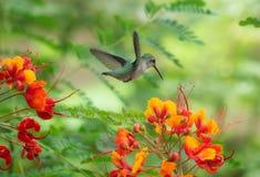 Colibri que paira sobre um grupo de flores brilhantes foto de stock royalty free