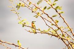 Colibri que senta-se em um ramo preto da acácia no savana de fotos de stock royalty free