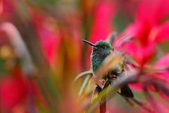 Colibri que senta-se na flor vermelha com fundo verde da flor, Tandayapa, Equador Pássaro tropico exótico com flor vermelha da fl Fotos de Stock Royalty Free