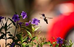 Colibri que voa perto das flores roxas imagens de stock