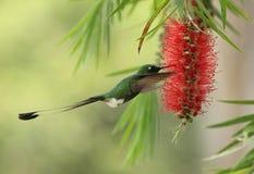 colibri Raquet-atado de Puffleg na árvore de Caliistemun foto de stock