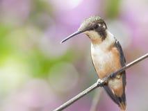 colibri Roxo-throated de Woodstar foto de stock