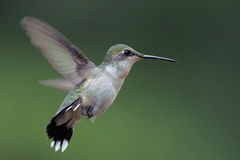 colibri Rubi-throated Imagens de Stock