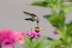 colibri Rubi-throated Imagem de Stock Royalty Free