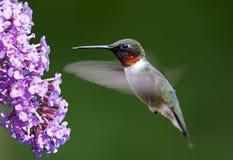 Colibri Rubi-Throated Fotografia de Stock Royalty Free