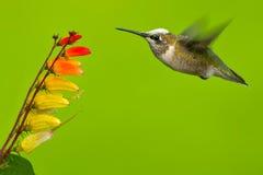 Colibri Rubi-Throated Fotos de Stock