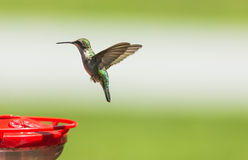 Colibri Rubi-Throated Imagens de Stock Royalty Free