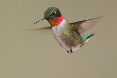 Colibri Rubi-Throated Fotografia de Stock Royalty Free