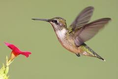 colibri Rubi-throated Imagem de Stock