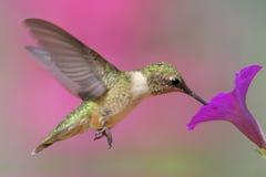 colibri Rubi-throated Foto de Stock Royalty Free