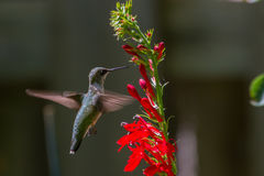 Colibri Rubi-Throated Fotografia de Stock