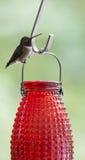 colibri Rubi-throated & x28; colubris& x29 do archilochus; foto de stock