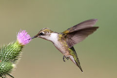 Colibri Rubi-throated juvenil Imagem de Stock Royalty Free