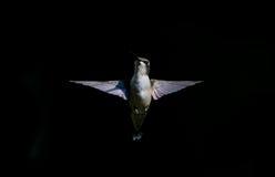Colibri Rubi-throated masculino juvenil imagem de stock