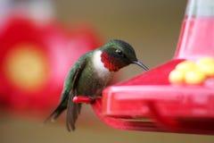 Colibri Rubi-throated masculino no alimentador Foto de Stock Royalty Free