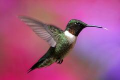colibri Rubi-throated no vôo Foto de Stock Royalty Free
