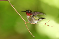 colibri Rubis-throated Photographie stock libre de droits
