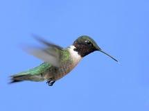 colibri Rubis-throated Photographie stock