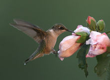 colibri Rubis-throated Images libres de droits