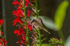 Colibri Rubis-Throated Photo libre de droits