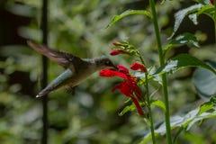 Colibri Rubis-Throated Photos stock
