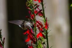 Colibri Rubis-Throated Photographie stock libre de droits